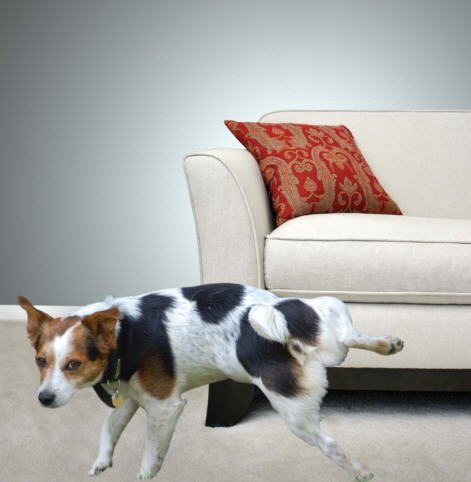 dog urinating on carpet in fort smith home